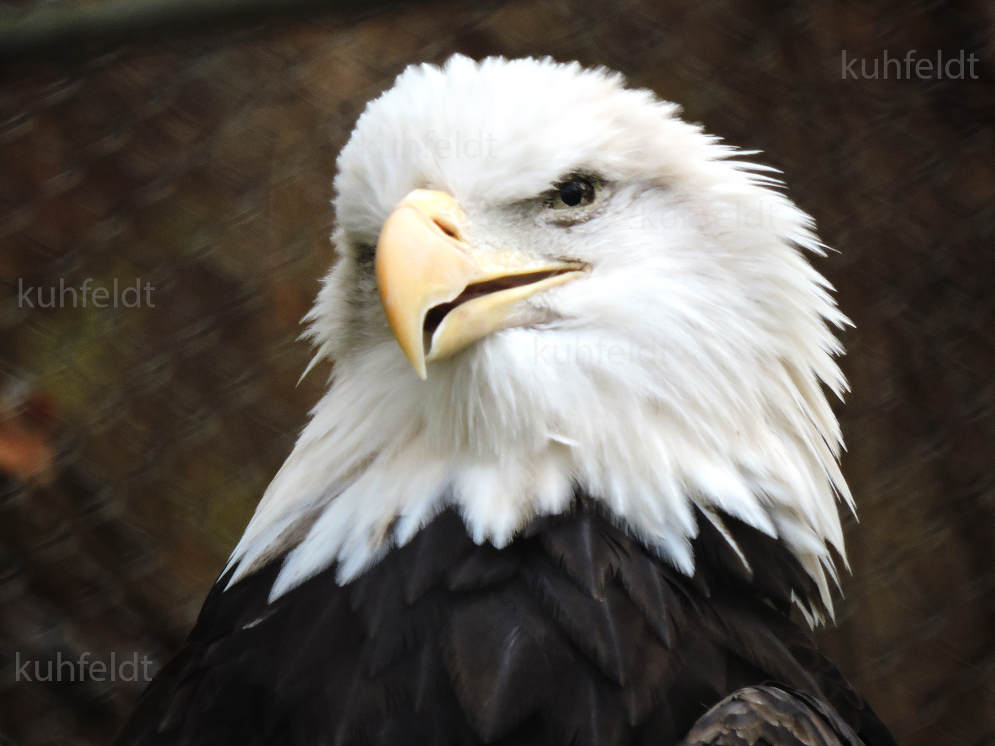 Blad Eagle; John Ball Zoo, Grand Rapids MI. Photo by Hank Kuhfeldt (c) 2016